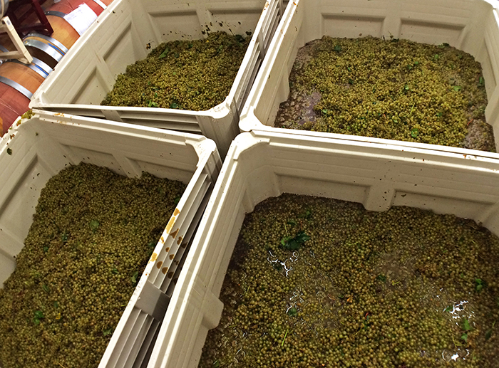 chardonnay grapes in bins