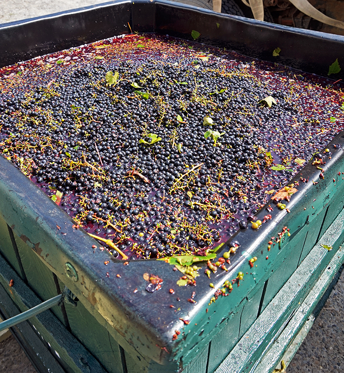 BAco noir grapes in the crate